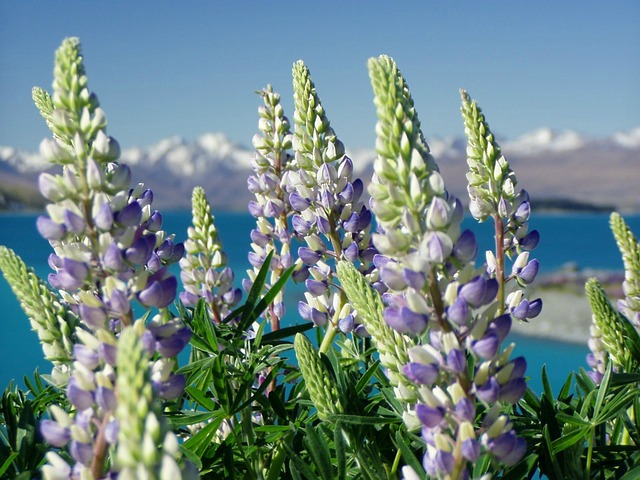 nature image of lupine
