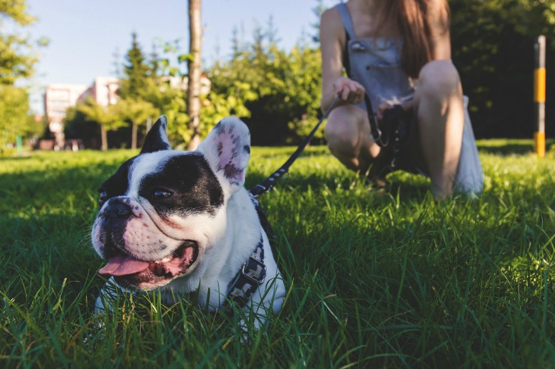 getting-a-pet-french-bulldog