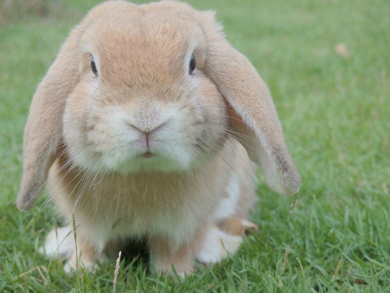 pet-bunny