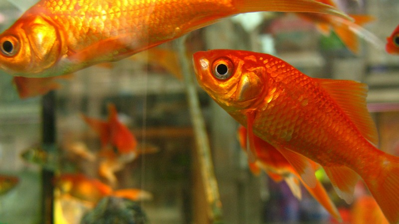 pet-goldfish