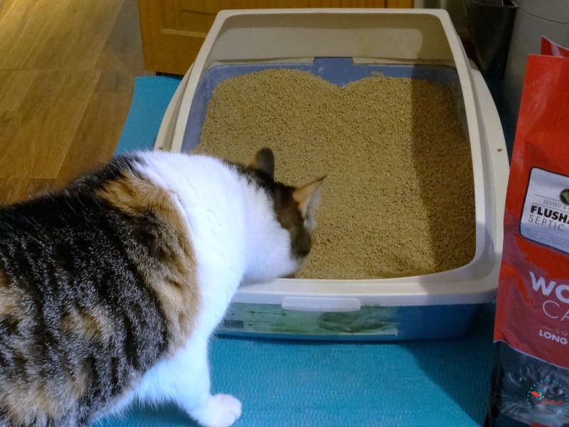 Sookie checking our her new litter with World's Best Cat Litter