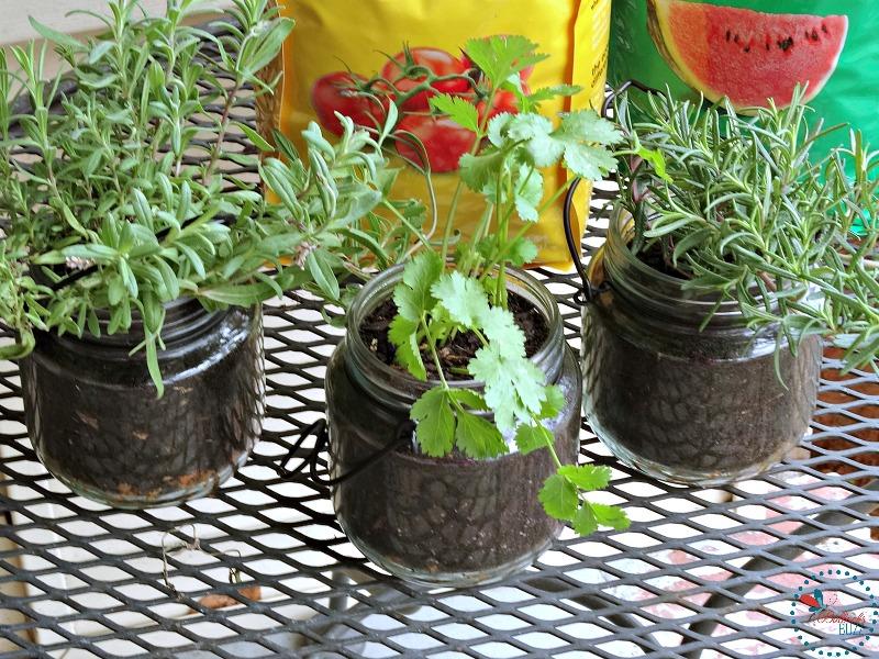 DIY Indoor Hanging Herb Garden transplant herbs