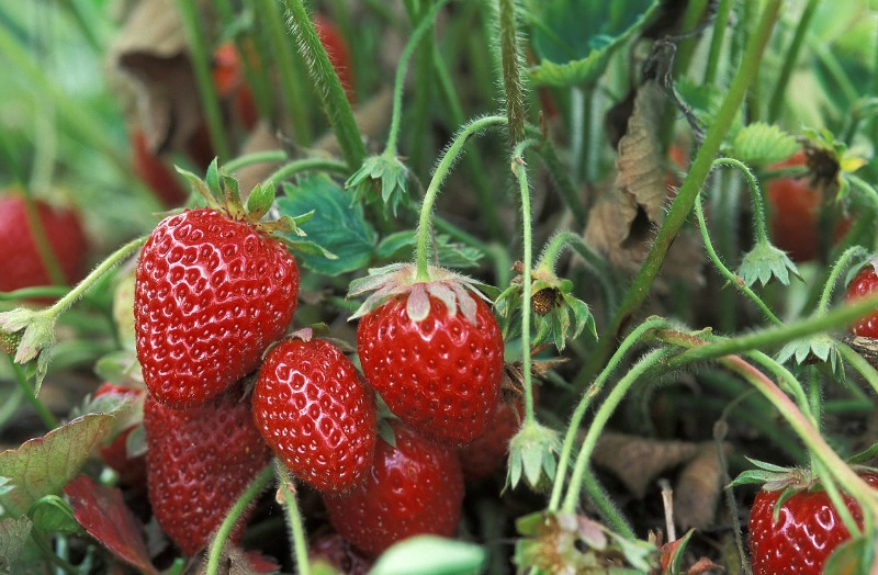Must Have items for Health Conscious Families fresh fruit greenhouse