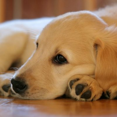 Family Pet – Why a Dog Could Be the Perfect Choice for Your Family