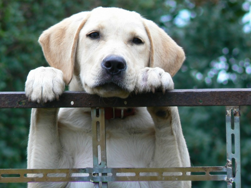 4 Family-Friendly Dog Breeds labs