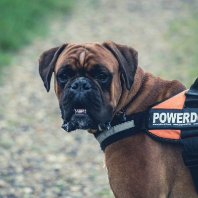 Big Dog Diaries – The Pros and Cons of Owning Large Breed Dogs