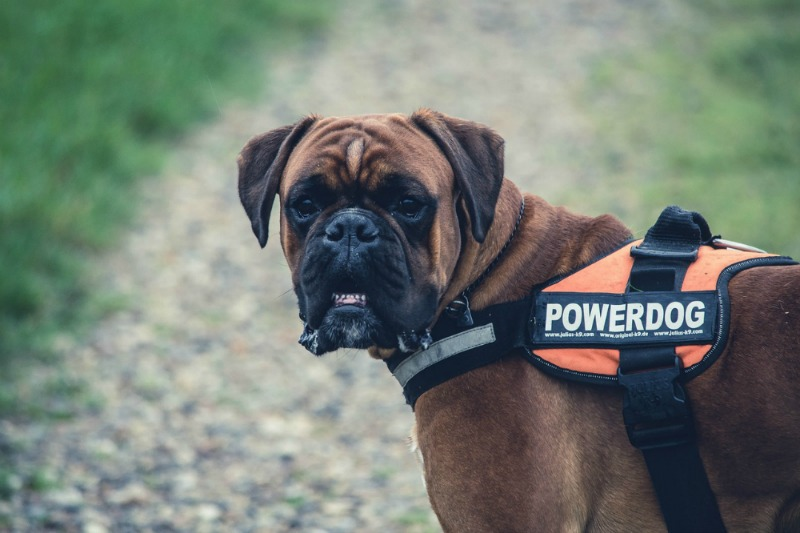 Big Dog Diaries - The Pros and Cons of Owning Large Breed Dogs