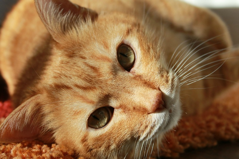 Keeping Your Home Safe for Your Pets cat