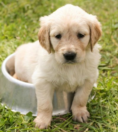 Choosing the Right Puppy for Apartment Living – 4 Things to Consider