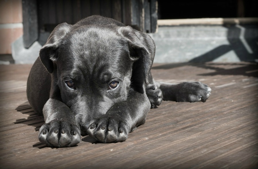 Choosing the Right Puppy for Apartment Living