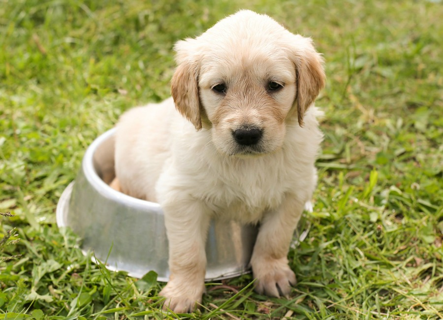 Choosing the Right Puppy for Apartment Living what to consider