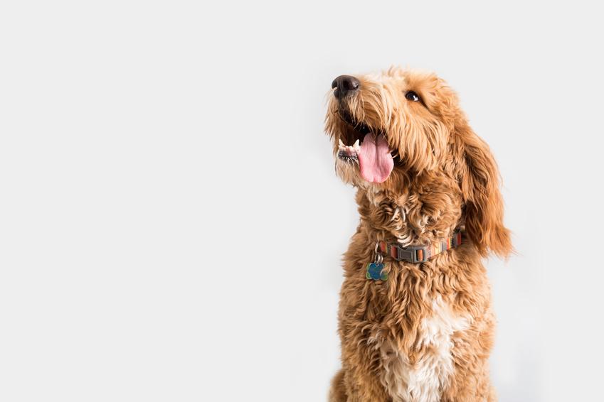 dog dna testing golden doodle dog