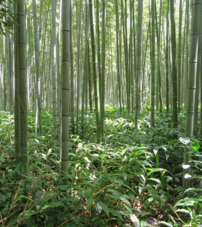 bamboo that can be used to make bamboo clothing