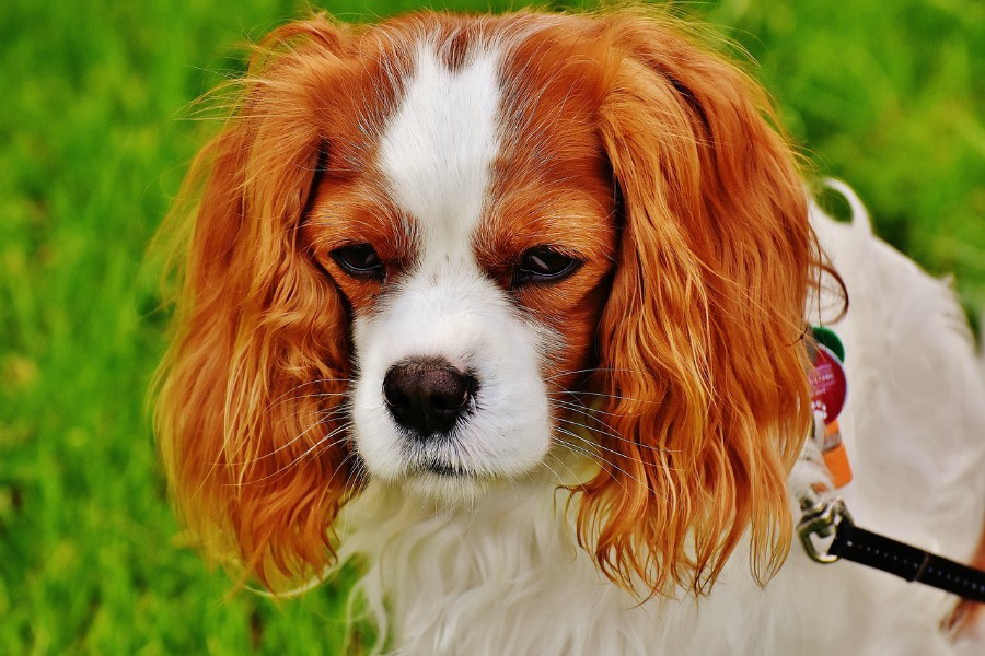 the FURminator de-shedding tools works well on dogs like this Cavalier King Charles Spaniel
