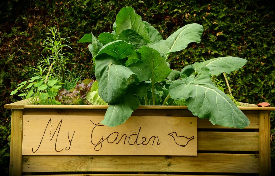 raised garden beds with plants growing
