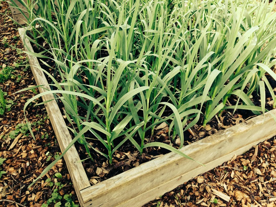 raised garden beds wth garlic