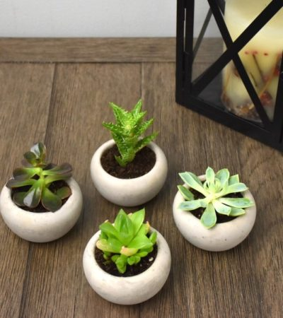 succulents repotted in concrete planters