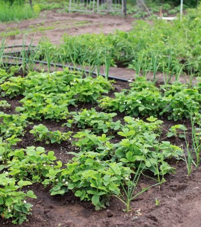 growing garden treated for Destructive Garden Insects