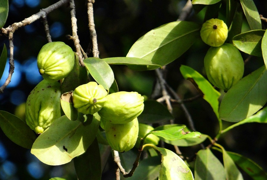 all you;ve ever wanted to know about Garcinia Cambogia