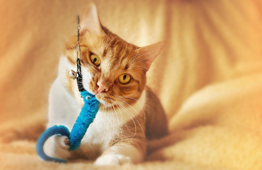 cat playing with cat wand toys