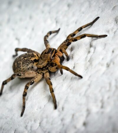how to get rid of spiders like this one in your home