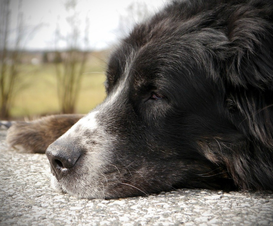 senior dog laying down