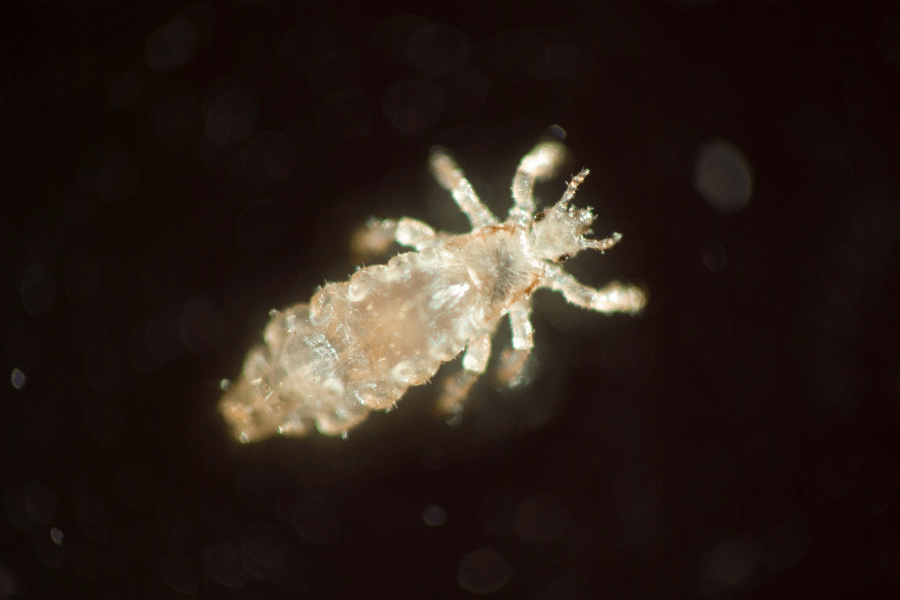 close of image of lice