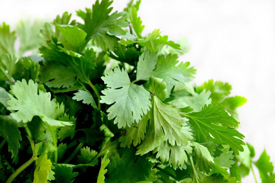this bunch of fresh cilantro can be used to make one of the best detoxifying teas
